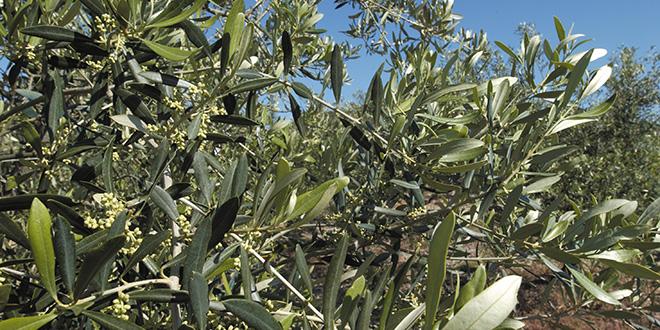 Mouche de l olive fabriquez vos pi ges maison l arboriculture fruiti re - Insecticide mouche de l olive ...