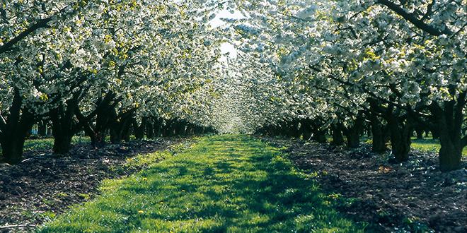 L'huile de neem, un insecticide naturel utilisé dans les vergers de pommiers, pêchers, cerisiers ou encore pruniers bio, est reconnu comme perturbateur endocrinien.