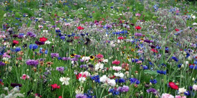 Les ombellifères et la phacélie attirent insectes pollinisateurs et faune auxiliaire et coûtent moins cher que certaines espèces très flashies. F.M. / Pixel Image
