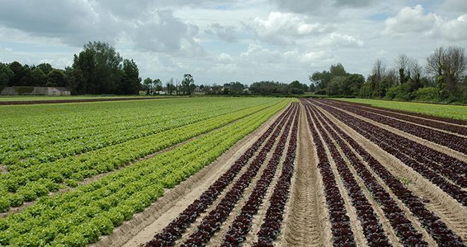 L'interdiction des néonicotinoïdes pourrait poser d'importants problèmes dans la gestion des pucerons. Photo : A. Galtier/Pixel image