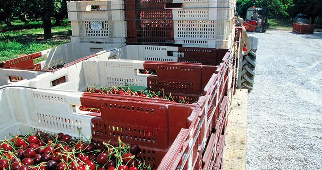 Autoriser l'importation de cerises turques: un coup de canif dans la clause de sauvegarde? Photo : L. Theeten / Pixel Image