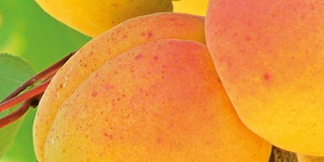 Comme chaque année à l'occasion du Salon Medfel de Perpignan, les prévisions de récolte européenne d'abricots ont été dévoilées. Cette année, les conditions climatiques ont été marquées par un automne et un hiver doux.
