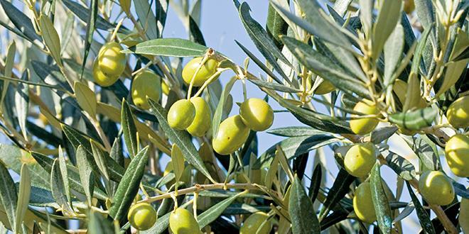 Des oléiculteurs qui se découragent face à l'entretien des vergers ? Des difficultées de transmission ? L'Afidol cherche à mieux comprendre la baisse de la production d'olives et d'huile.