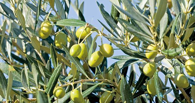 Xylella fastidiosa peut contaminer un grand nombre d'espèces végétales et aucun traitement n'existe pour empêcher le dépérissement des végétaux. Photo : DR