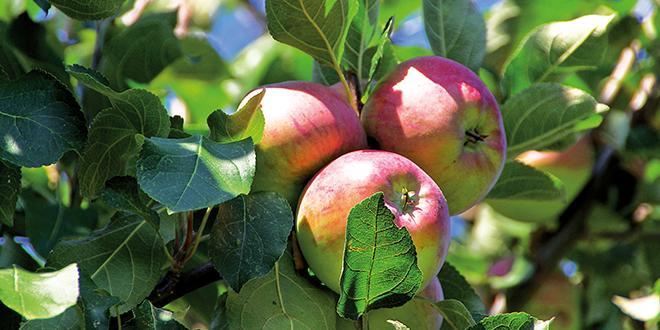 Afin de pouvoir sélectionner plus efficacement les nouvelles variétés de pommier il est indispensable d'avoir accès à un génome de haute qualité.