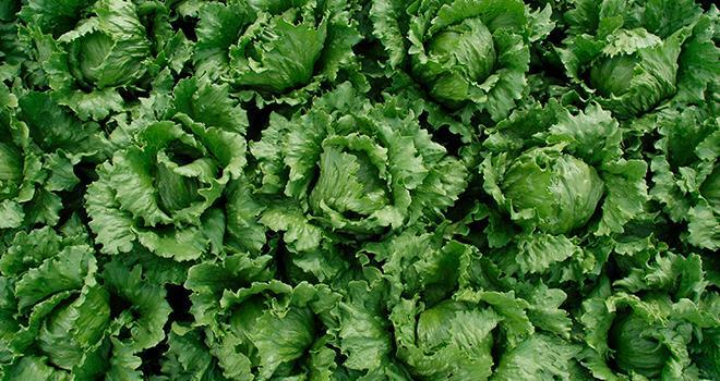 Le contrat est renouvelé pour 1 000 tonnes de salades iceberg par an jusqu'à la récolte 2021. Photo : DR