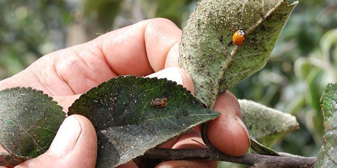 Si le Sud-Est est touché par le carpocapse, plus de 40% des traitements insecticides visent les pucerons dans les autres bassins de production.