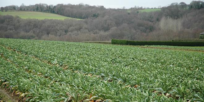 En 2017/2018, les conditions climatiques ont impacté de manière forte les volumes de chou-fleur, l'un des légumes phares de la coopérative. © D.Bodiou /Pixel6TM