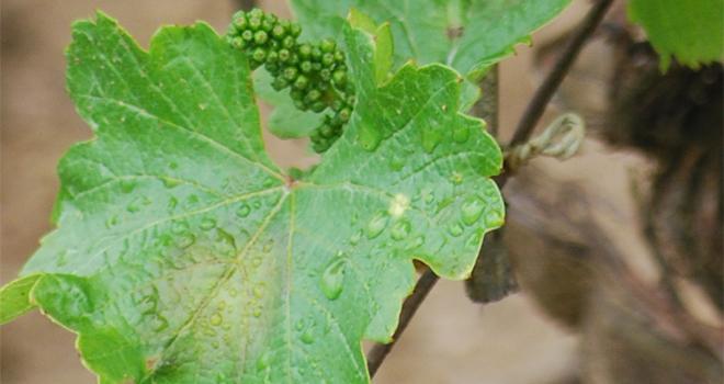 Les conditions climatiques favorisent les maladies fongiques, notamment le mildiou sur vigne. Les moyens de lutte s'avèrent insuffisants, selon le Collectif Sauvons les Fruits et Légumes de France / Crédit : E.Thomas - Pixel image