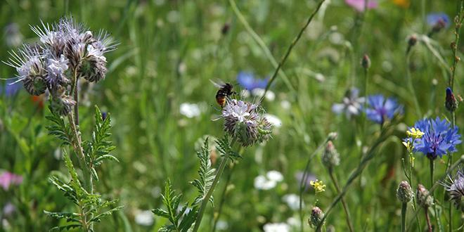 Pour sauvegarder l'existence des pollinisateurs, il est nécessaire de cultiver des espèces végétales adaptées, nectarifères et pollinifères.