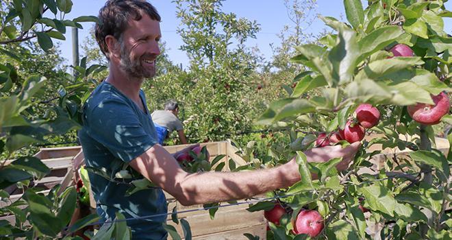 Pour les Côteaux Nantais, entreprise implantée près de Nantes et leader européen de l'arboriculture en biodynamie, la récolte 2017 en pommes et poires sera en baisse de 35 %. Photo : Coteaux Nantais