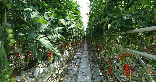 Le rapprochement entre Rougeline et la coopérative Caldabret vise à renforcer le poids des deux organisations sur la filière tomate notamment. Photo : R.Poissonnet/Pixel image