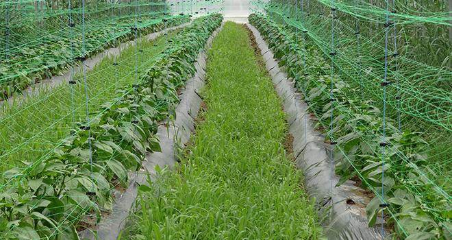 Le Botanigard 22 WP, récemment autorisé, agit par contact pour le contrôle des aleurodes et/ou thrips des cultures sous abri. Photo : R.Poissonnet
