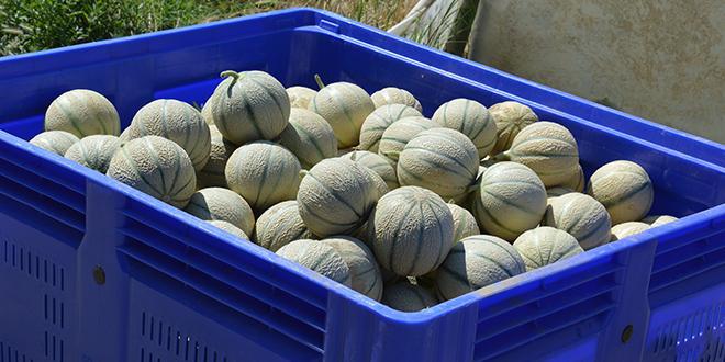 La récolte de melons français a débuté.