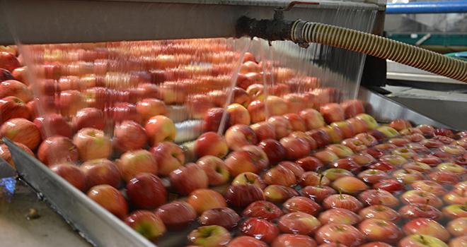 La production de la variété Gala, la première récoltée, diminuerait de 6 % sur un an alors que celle de Golden serait en hausse de 5%. Photo : C.Even/Pixel image