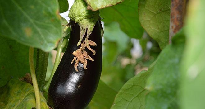 Les aubergines sont particulièrement sensibles aux nématodes à galles. Photo : C. Even/Pixel Image