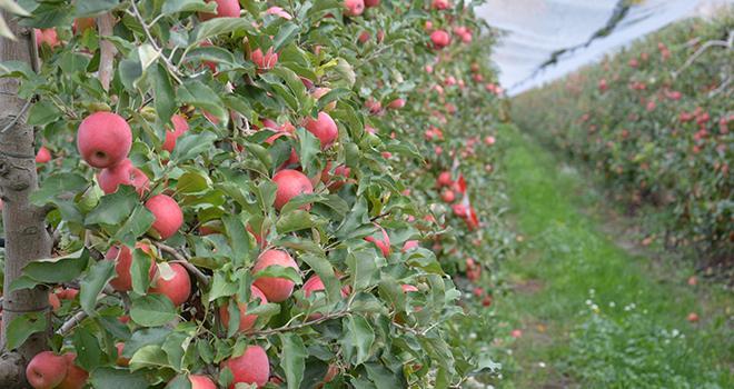 À l'EARL Gailet, ces pommes Pink Lady® de la variété Cripps pink cov sont prêtes à être récoltées. Photo : C. Even /Pixel Image