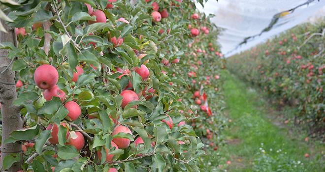 Si les objectifs généraux de la charte du réseau national d'évaluation des variétés et porte-greffe fruitiers, signée en 1998, restent toujours d'actualité, le contexte global a fortement évolué. Photo : C.Even/Pixel6TM