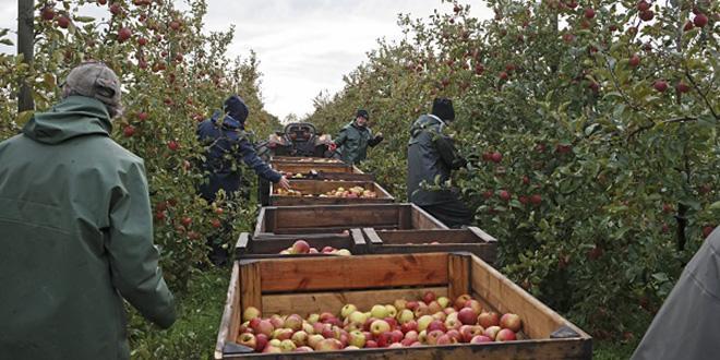 Issues de vergers conduits en biodynamie, ce sont près de 2 500 tonnes de poires et de pommes qui partiront sur les étals ou qui seront transformées, confirmant la place de leader européen en biodynamie occupée par les Côteaux Nantais.