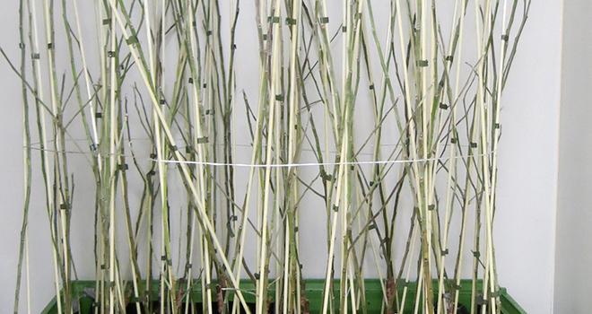 Les pommiers cisgéniques ont déjà montré une bonne résistance au feu bactérien lors d'essais en la-boratoire, indique Agroscope. Photo Agroscope.