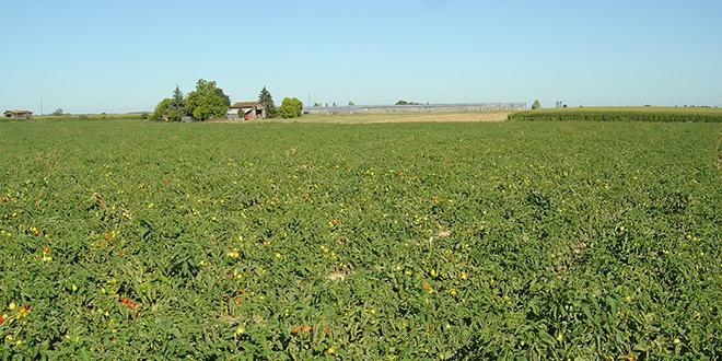 Les OP de la tomate transformée appellent à plus de responsabilité de la part de la grande distribution dans les négociations commerciales. Photo DR