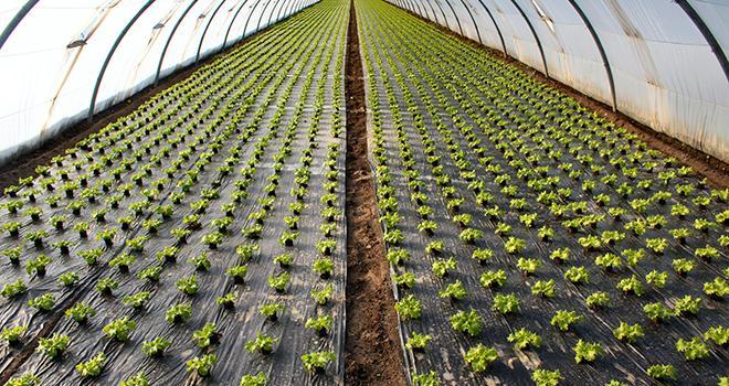 Selon la filière française du plastique agricole, sans plastique, il faudrait multiplier par 4 les surfaces cultivées et le recours aux intrants pour produire autant qu'avec. Photo : illustrez-vous
