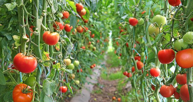 Pour la Fnab, chauffer des serres en hiver pour produire dès le printemps des légumes d'été va à l'encontre des valeurs de la bio. Photo : branex/Adobe stock