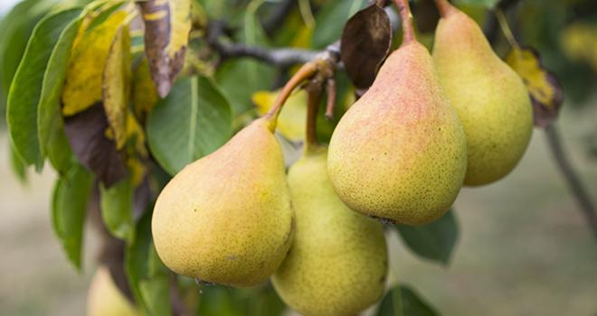 Estimée à près de 140 000 tonnes, la production de poires serait supérieure de 17 % à celle de 2019. Elle augmenterait dans toutes les régions productrices et pour toutes les variétés. Photo : Pictures news/Adobe stock