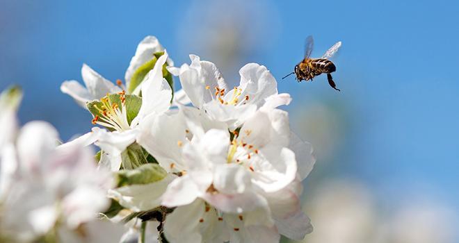 """Selon une étude publiée dans la revue """"Journal of Applied Ecology"""", l'agriculture bio limiterait le déclin des colonies d'abeilles en fin de printemps. Photo : serkucher/Adobe stock"""