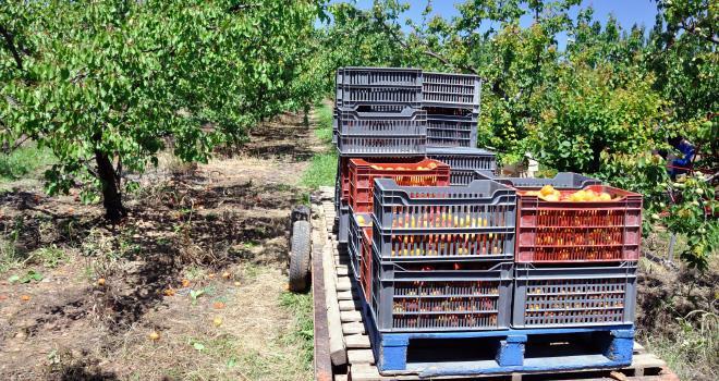 Les producteurs de fruits vont avoir besoin de main-d'œuvre pour récolter les fruits d'été, notamment les abricots. CP : pf3/Adobe Stock0