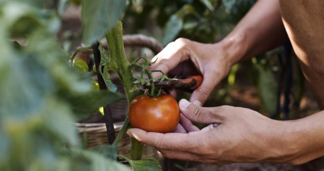 Les tomates font partie des productions qui vont très rapidement demander un renfort de main-d'œuvre. CP : nito/Adobe Stock