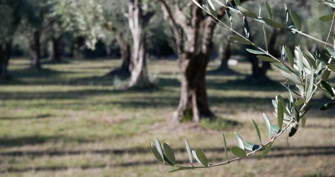 France Olive souhaite que les oléiculteurs amateurs puissent se déplacer pour entretenir leurs oliveraies. CP : ascain64/Adobe Stock