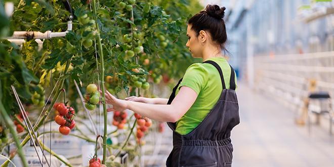 L'État rappelle la nécessité de respecter des règles de biosécurité strictes dans toutes les pépinières et les exploitations productrices de tomates et de poivrons à titre préventif. © Nejron Photo / Adobe Stock