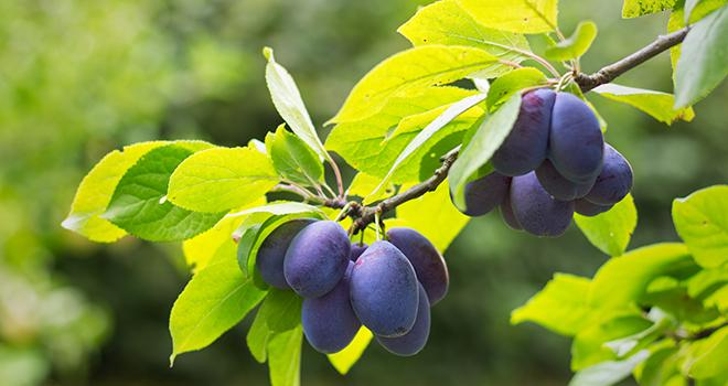 Andermatt France recommande d'utiliser Curatio® sur prune contre la rouille, coryneum et polystigma. Photo : Encierro/Adobe stock