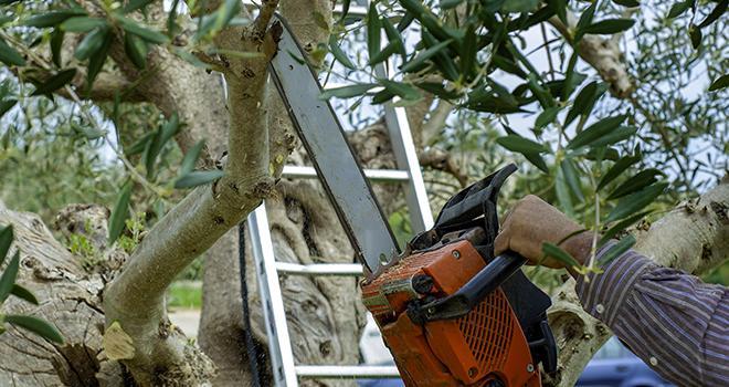 """Toutes les filières de production agricoles sont exposées à un risque de contamination par """"Xylella fastidiosa"""" (vigne, oliviers, arbres fruitiers du genre Prunus, agrumes, luzernes, espèces ornementales…) Photo : Peuceta/Adobe Stock"""