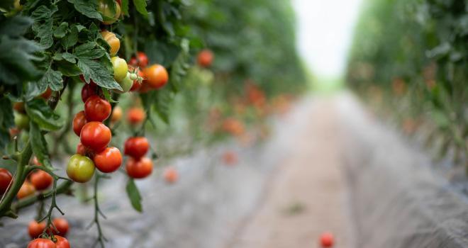 Pour la première fois, les producteurs de légumes français n'ont pas pu, de décembre à avril, commercialiser de produits bio cultivés sous serre chauffée. CP :  lamurebenjamin/Adobe Stock