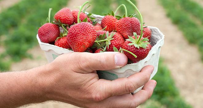 3 600 barquettes de fraises françaises vont être offertes aux hôpitaux et cliniques du Bas-Rhin par l'AOPn Fraises de France. Photo : Gyula Gyukli/Adobe stock
