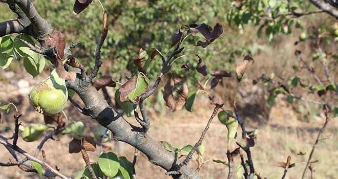 En arboriculture, les maladies bactériennes (feu bactérien et autres bactérioses causé par Erwinia, Pectobacterium et Pseudomonas) sont la cible prioritaire du biocontrôle. Photo : murasal/Adobe stock