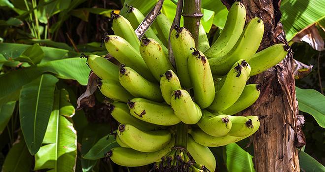 La propagation d'un champignon responsable de la fusariose du bananier menace les cultures de bananiers. Photo : Eduardo Lara Filho/Adobe Stock