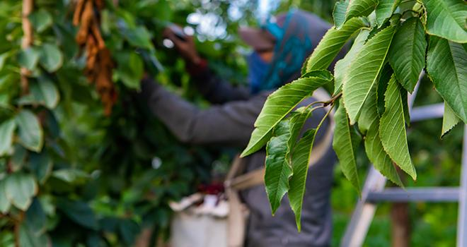 La première phase du déconfinement de notre pays, entamée cette semaine, coïncide avec le démarrage des récoltes de nombreux fruits qui s'enchaîneront jusqu'à la fin de l'année. Photo : Valmedia/Adobe stock