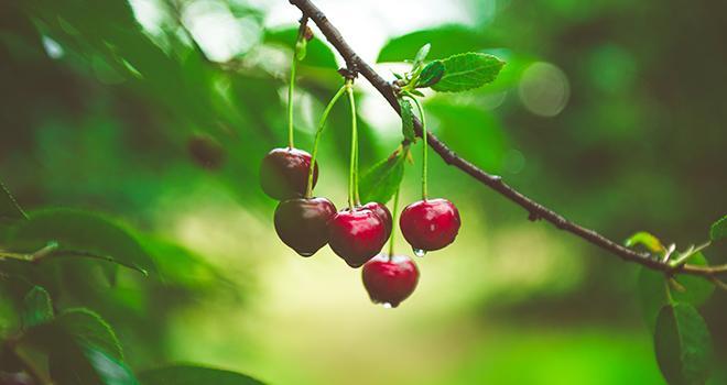 La cerise étant un fruit particulièrement sensible, les estimations de production peuvent rapidement encore évoluer d'ici la fin de la récolte. Photo Sappheiros/Adobe Stock