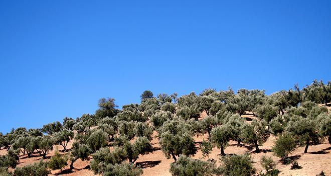 L'opération « Des Arbres pour la Planète » lancée par la Fondation Azura a permis de planter, du 8 au 10 avril dernier, plus de 6.800 arbres fruitiers : oliviers, arganiers, caroubiers, grenadiers et figuiers. Photo benjamin laclau/Adobe Stock