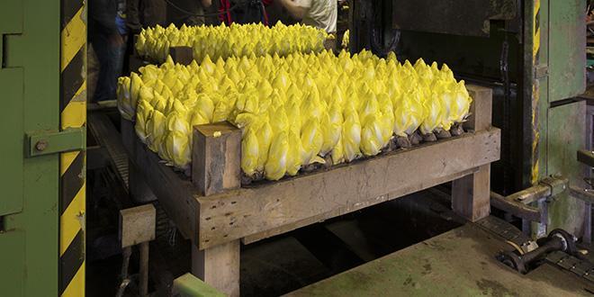La production de chicons d'endives, obtenue à partir du forçage des racines, serait de 152709 tonnes pour la campagne 2020-2021. © Hansenn/ Adobe stock