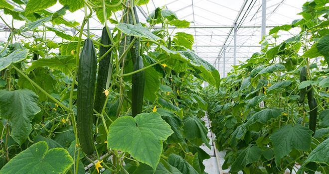 Le Cnab de l'INAO a adopté des dispositions concernant le chauffage des serres pour la production d'aubergines, de concombres, de courgettes, de poivrons et de tomates en AB. Photo : hansenn/Adobe stock