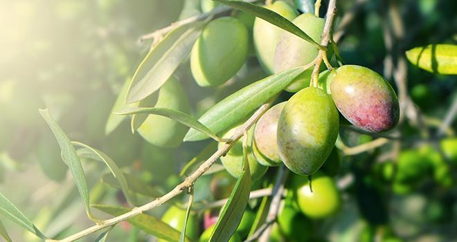 Pour ses 20 ans, l'Afidol devient France Olive. Photo : Cédric Saunier/Adobe Stock