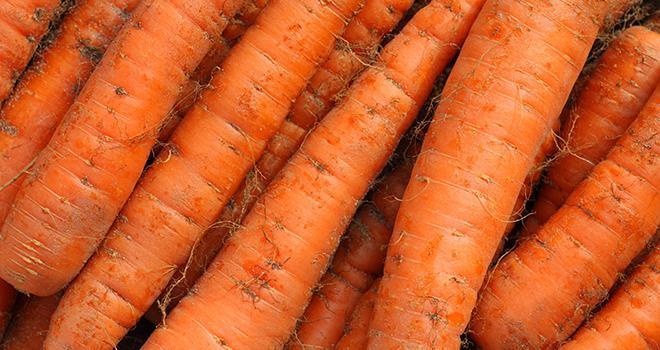 Les prix de la carotte de saison sont, en septembre 2020, supérieurs de 8 % à ceux de septembre 2019 et de 29 % par rapport aux prix moyens 2015-2019. Photo : galam/Adobe Stock