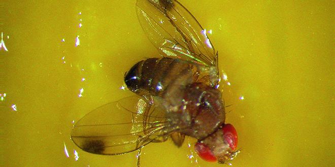 """Suite à l'interdiction du diméthoate en février, le CTIFL a rédigé une note afin d'adapter les stratégies de lutte contre la mouche de la cerise et """"Drosophila suzukii""""."""
