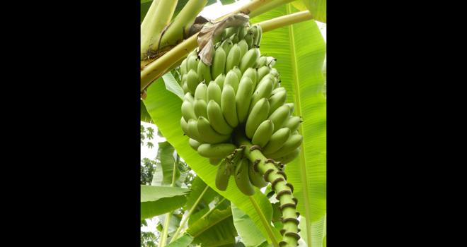 Grâce à la mise en place de mesures sanitaires, les producteurs de bananes de Guadeloupe et de Martinique ont pu maintenir leur activité et approvisionner les consommateurs métropolitains. Photo : xlatlantique/Adobe stock