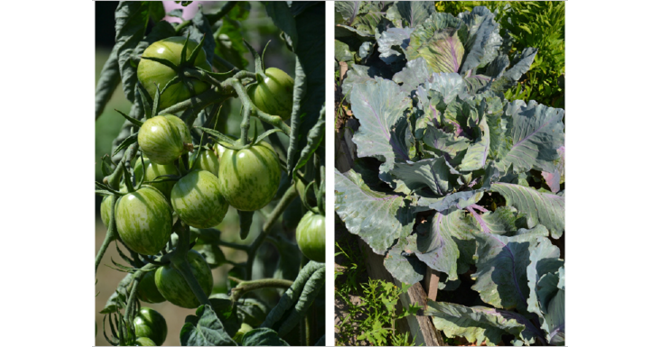 Pour le Gnis, le fonds de soutien doit permettre de répondre à la demande des utilisateurs professionnels, jardiniers et consommateurs de disposer de toute la diversité des variétés potagères. Photo : Gnis