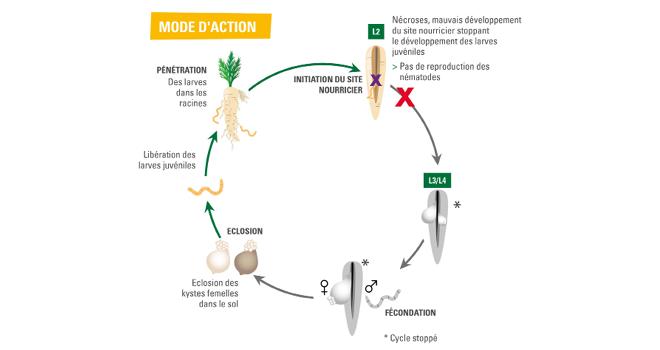 Vilmorin-Mikado a présenté une nouvelle solution pour lutter contre les nématodes à kyste Heterodora carotae. Photo : Vimorin Mikado